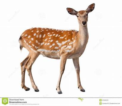 Deer Fallow Clipart Royalty Clipground