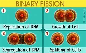 Binary Fission Steps