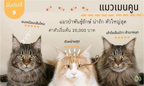 อันดับที่ 9 สายพันธุ์แมวที่คนไทยนิยมเลี้ยง แมวเมนคูน