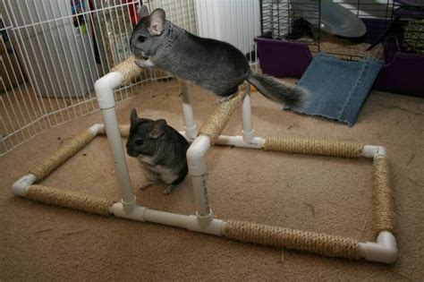 chinchilla toys building uneven bars and other fun quot gymnastics equipment quot for chinchillas cuteness pinterest