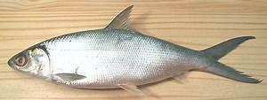 Milkfish / Bangus