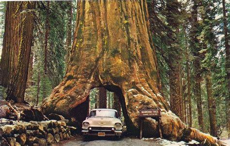 The Drive Through Trees California Amusing Planet