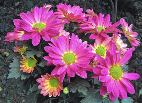 Tips for keeping hardy fall mums alive for the spring ...