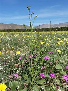 Desert Knapweed Containment California Invasive Plant