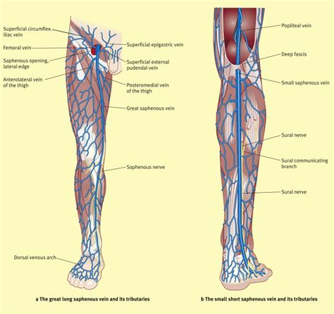 surgical anatomy   saphenous veins surgery oxford