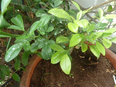 olivier en pot qui perd ses feuilles 28 images planter un olivier citron caviar les agrumes