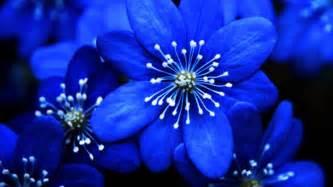 anemone flowers beautiful blue flower weneedfun