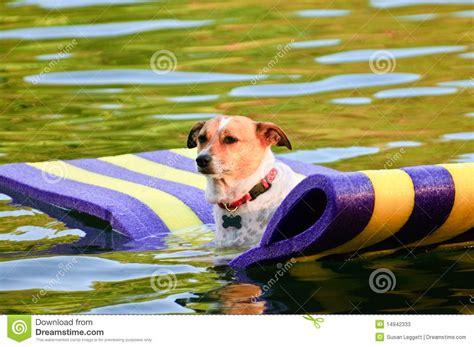 dog floating   water stock  image