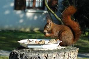 Que Donner A Manger A Un Ecureuil Sauvage : nourrissage des cureuils roux besoin de conseils ~ Dallasstarsshop.com Idées de Décoration