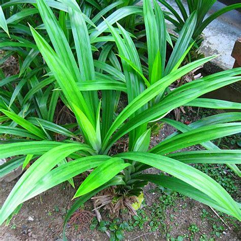 pandan leaf 187 pandan leaves health benefits and pandan leaf in cook rice