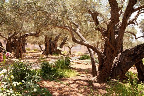 Garden Of Gethsemane Bible by Garden Of Gethsemane Land Of The Bible