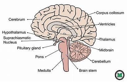 Brain Sagittal Human Labeled Physiology Anatomy Stem