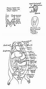 Diagram Of Uterus And Stomach