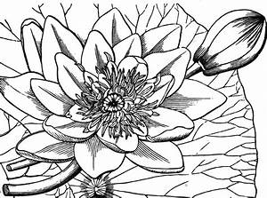 Water-lily | ClipArt ETC