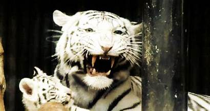 Tiger Siberian Tigers Gifs Tigre Animated Tigres