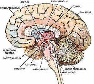 What Do Brains Have Inside Of Them