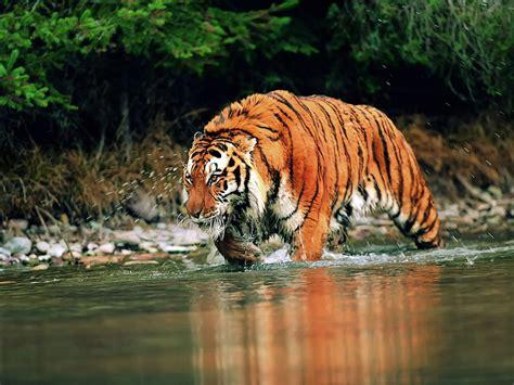 Wallpapers Best Tiger