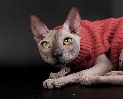Sphynx Cat Sweater Wallpapers Posing Cats Kittens