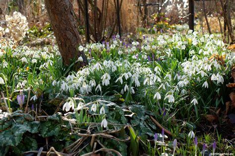 Garten Pflanzen Frühjahr by Ein Garten Voller Schneegl 246 Ckchen Und M 228 Rzenbecher So