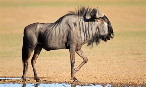 3 letter mammals 20 fascinating animals that start with the letter w 20067   Wildebeest 630x380