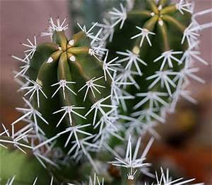 Cactus Sans Epine : dossier des plantes succulentes aux cactus ~ Melissatoandfro.com Idées de Décoration