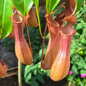 Fleischfressende Pflanze Pflege : kannenpflanze online kaufen bei g rtner p tschke ~ A.2002-acura-tl-radio.info Haus und Dekorationen