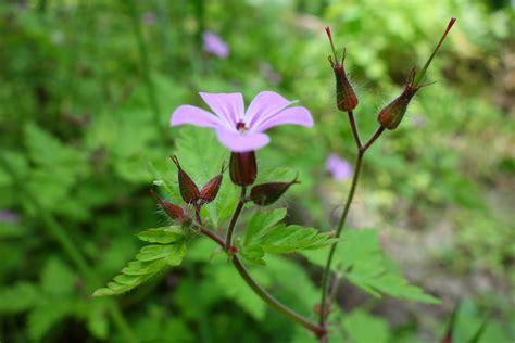 storchenschnabel die pflanze des monats heilpflanze