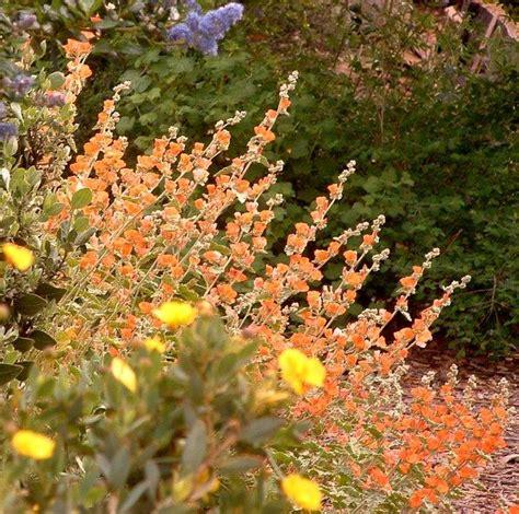ca plants drought tolerant or resistant plants