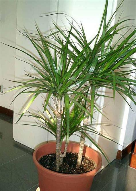 dracena marginata pflege dracaena pflege pflanzenfreunde