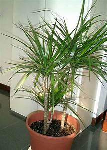 Was Tun Mit Pflanzen Im Urlaub : dracaena pflege pflanzenfreunde ~ Markanthonyermac.com Haus und Dekorationen