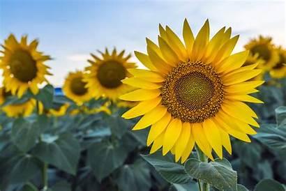Sunflower Ingredients Oil