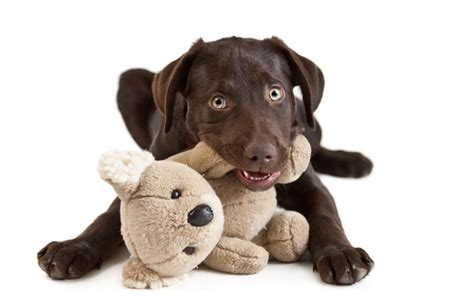 dog trainer     puppy  stop chewing