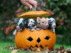 Cute Pumpkin Carving Ideas For Babies by Cute Happy Halloween Piglets Picture Jokes Memes Amp Pictures