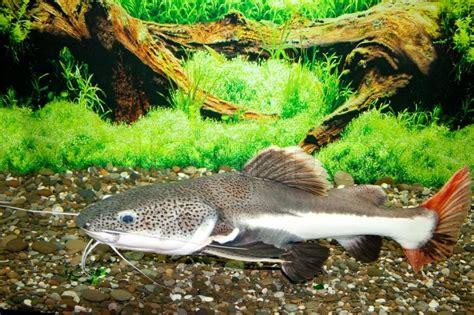 Dies Ist Eine Welse ( Phractocephalus Hemioliopterus ), In