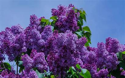 Lilac Flower Purple Spring Flowers Bush Background