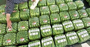 How Square Watermelons Get Their Shape  And Other G M O