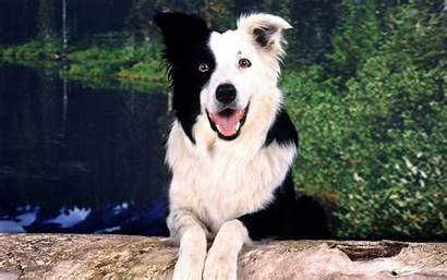 Border Collie Wallpapers Iphone Wallpapercave
