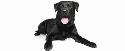 Labrador Retriever Dog Breed Breeds Petfinder Form