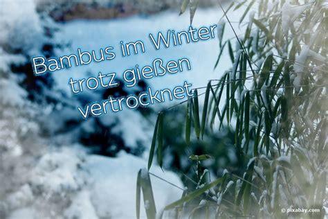 Vertrockneten Rasen Retten by Bambus Im Winter Trotz Gie 223 En Vertrocknet Was Tun Wie
