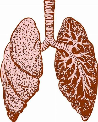 Lungs Human Organ Diagram Medicine Pixabay Lung