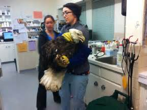 one animal hospital majestic bald eagle was hit by a car and treated at an