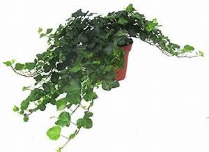 Efeu Als Zimmerpflanze : hedera helix wonder efeu echte pflanze im 13 cm topf als h ngepflanze bodendecker oder ~ Indierocktalk.com Haus und Dekorationen