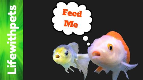 How To Feed Goldfish