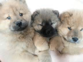 Panda Chow Chow Puppies for Sale
