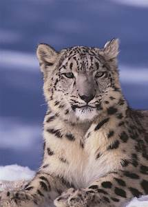 25 Beautiful Snow Leopard Picture - MagMent