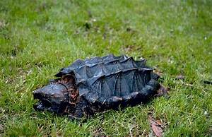Alligator Snapping Turtle | The Biggest Animals Kingdom
