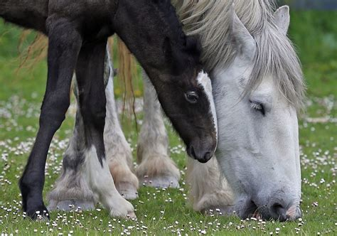 shire horse foal rare appearance makes horses week mother zimbio breed endangered filly