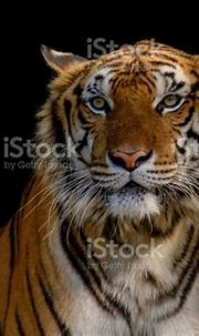 Sight Of Tiger Stock Photo - Download Image Now - iStock