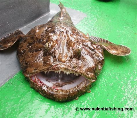 home copper irish angling update monster monkfish for rosi off valentia