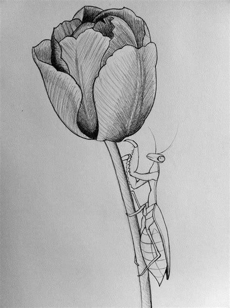 mantistulip  art  darcydoll  deviantart tulip